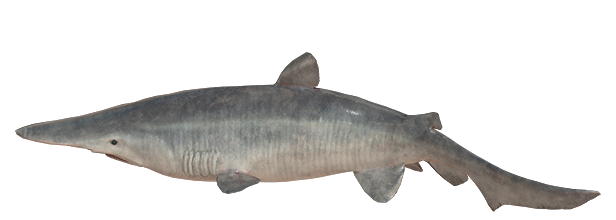 goblinshark.png?t=1559894540