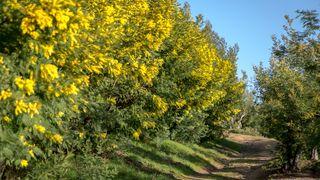 Route du mimosa