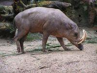 ASF zagraża wyginięciem 11 gatunków świń