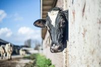 Dłuższe życie krów mlecznych oznacza większe zyski