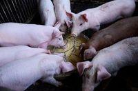 Odpady żywności jako pasza dla zwierząt – pomysł dobry czy fatalny?