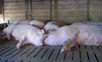 W ostatnim okresie w Rosji z powodu ASF wybito ponad pół miliona świń