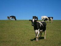 Rośnie import cieląt. Spada liczba krów