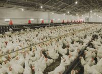 21.06.2021 Ceny skupu kurczaka i sprzedaży tuszki: trend wzrostowy niezagrożony
