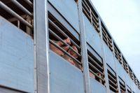 Zakłady wstrzymały odbiór świń ze strefy czerwonej. Trwa import żywca i mięsa z Niemiec?