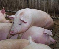 Sprzedaż świń ze strefy czerwonej praktycznie niemożliwa. Rolnicy są zdesperowani