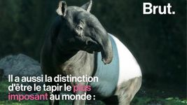 VIDEO. Le tapir de Malaisie, le tapir le plus imposant au monde