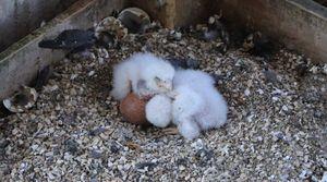 Saint-Nicolas-de-Port : naissance de bébés faucons pélerins au sommet de l'une des tours de la basilique