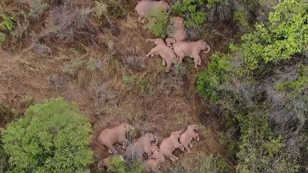 The herd rests in a forest near Kunming, in China's southwest Yunnan province. Photograph: China Central Television/AFP via Getty