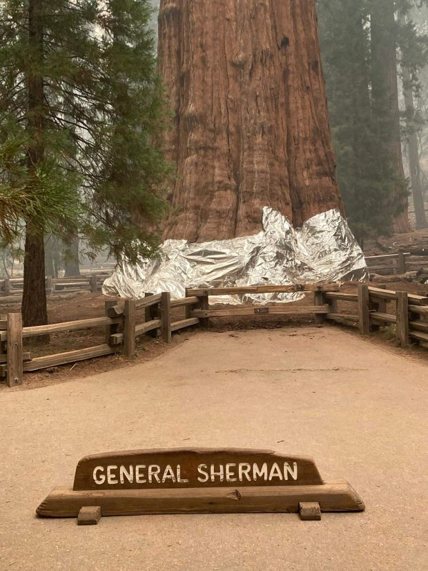 Firefighters have wrapped the historic General Sherman Tree, estimated to be around 2,300 to 2,700 years old, with fire-proof blankets in Sequoia National Park, California. Photograph: National Park Service/AFP/Getty Images