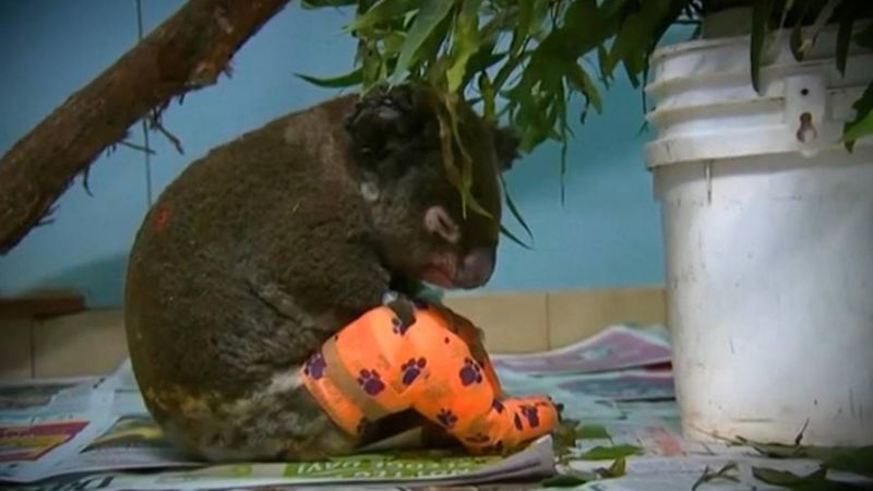 Lewis, a tűzvészből kimentett koala szomorú története bejárta a világsajtót