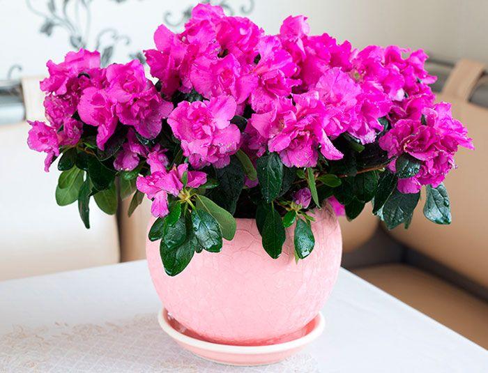 Тихий вбивця в горщику: ці квіти категорично заборонено тримати вдома