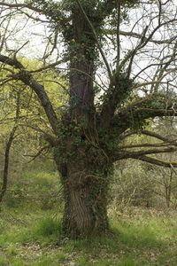 La trogne, cet arbre têtard mystérieux.