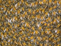 SOPH professor helps rescue workers in swarm of thousands of killer bees