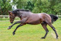 Thérapie cellulaire chez le cheval: les cellules souches contre les troubles locomoteurs