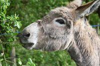 Mieux détecter la douleur chez l'âne pour améliorer son bien-être