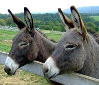 Un virus de l'hépatite B découvert chez l'âne et le zèbre