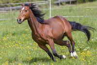 Microbiote intestinal: les bienfaits du pré pour les chevaux de compétition
