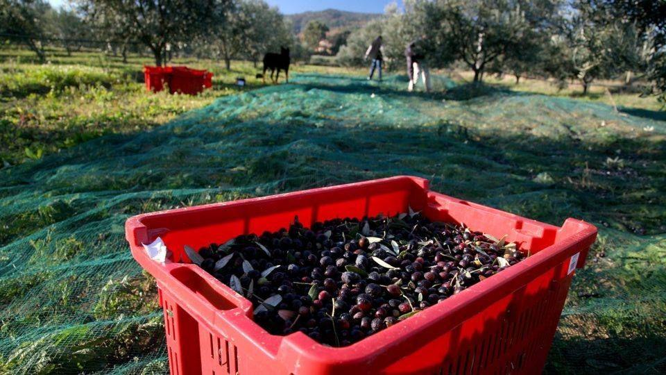 Produit du terroir, olives et oliviers