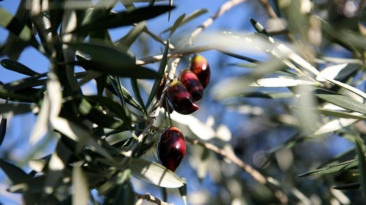 Local produce - olives and olive groves