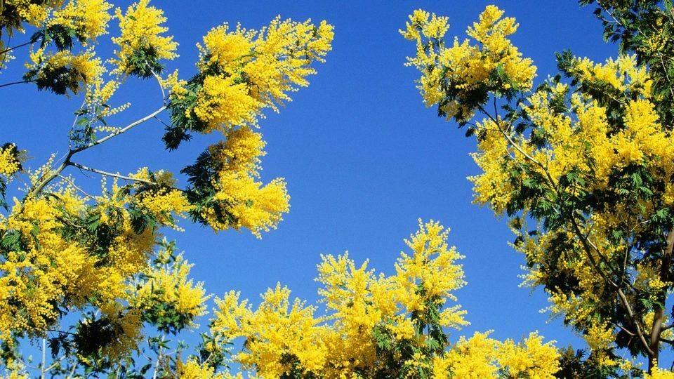 Mimosa et ciel bleu