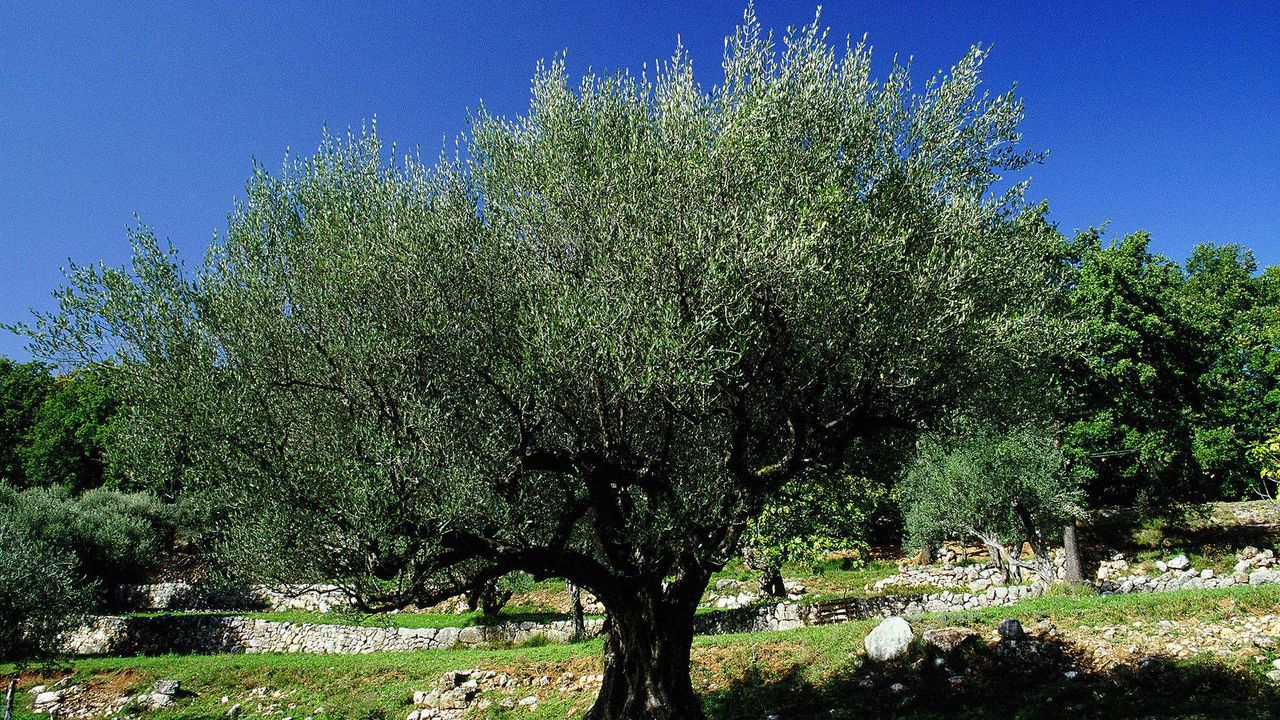 Grand olivier