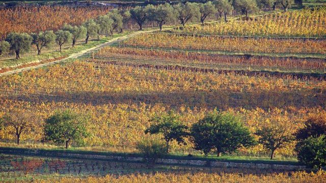Vineyards and olive groves in autumn