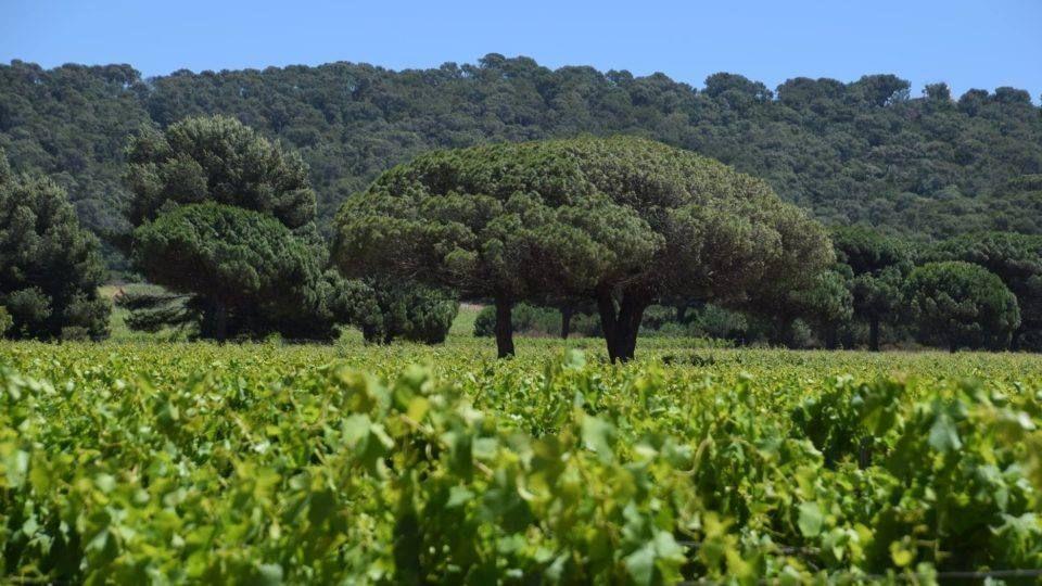 Porquerolles vigne et pins parasols