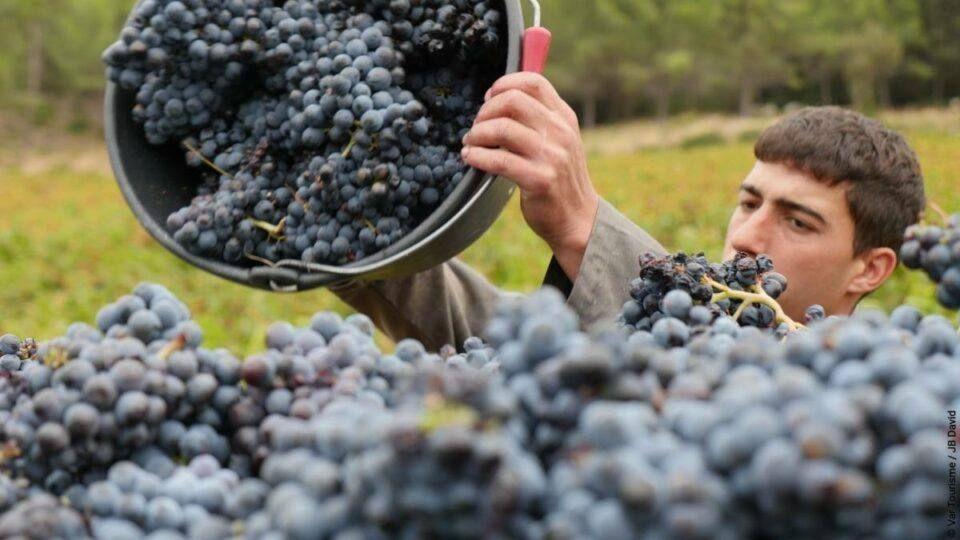 La récolte du raisin