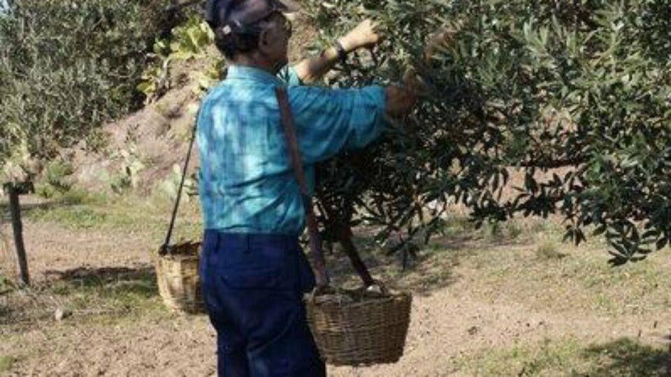 Récolte des olives au domaine Diouloufet à Puget-sur-Argens