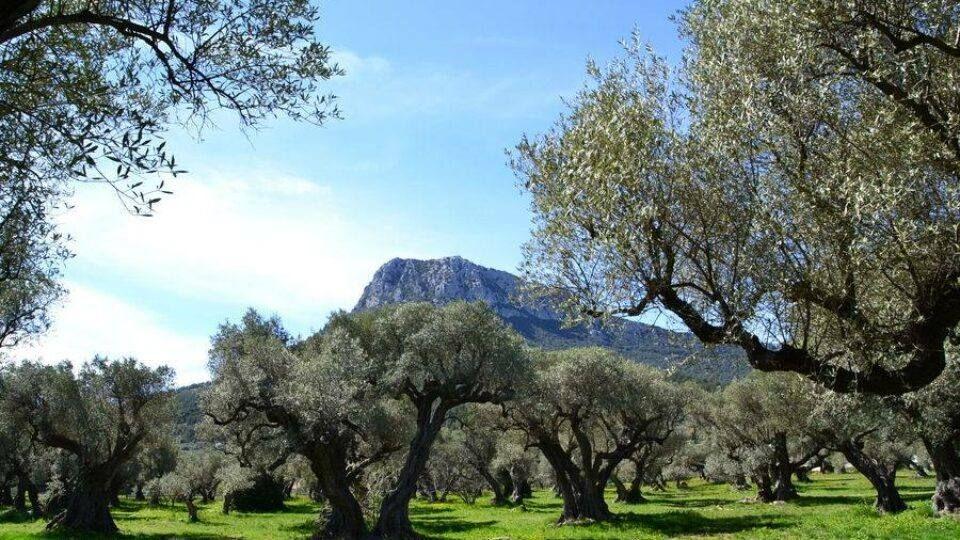 Vue imprenable entre oliviers et le mont Coudon.