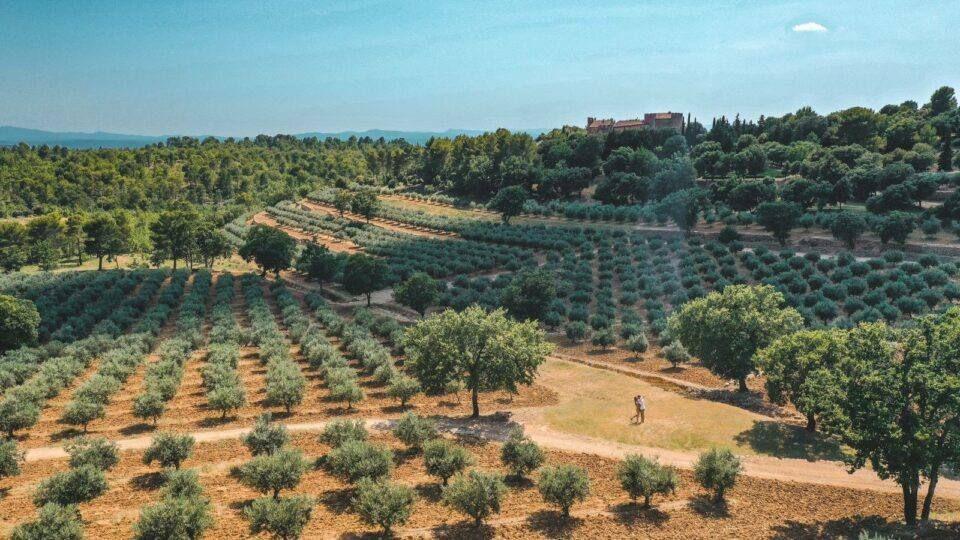 Les oliviers du château de Taurenne.