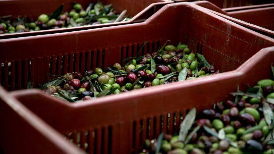 Récolte des olives au moulin de l'Esquirol