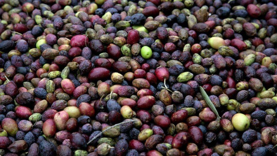 Production d'huile d'olive à Callas