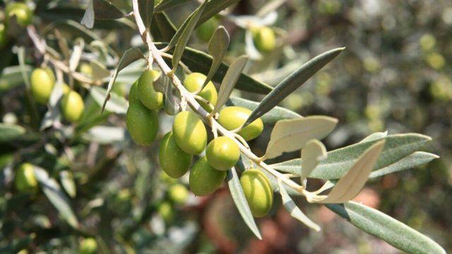 olives du var olives vertes