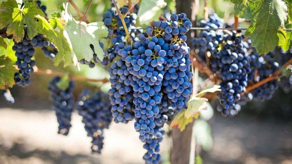 Les raisins bénéficient d'un grand ensoleillement toute l'année.
