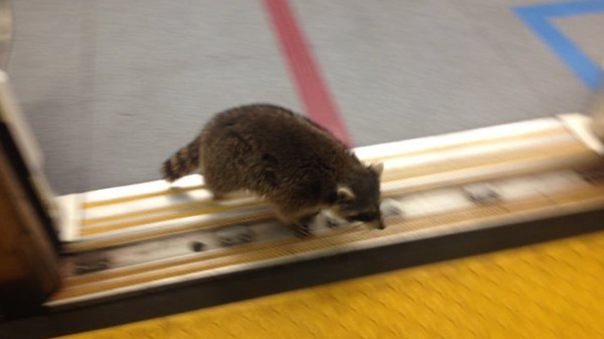 Raccoon joins commuters on Spadina subway, then decides to walk