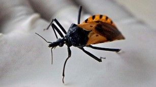 [Image: 150812101743-chagas-bug-medium-plus-169.jpg]
