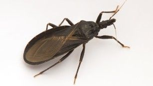 [Image: 151106121746-chagas-triatomine-medium-plus-169.jpg]