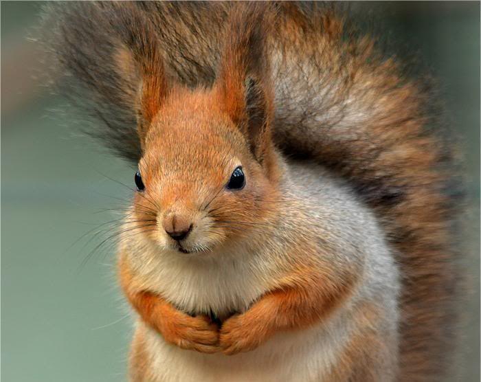 [Image: RedSquirrel-1.jpg]