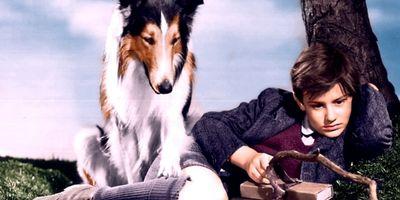 La fidèle Lassie STREAMING