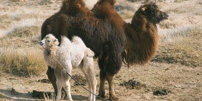 L'Histoire du chameau qui pleure STREAMING
