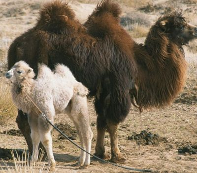 The Story of the Weeping Camel online