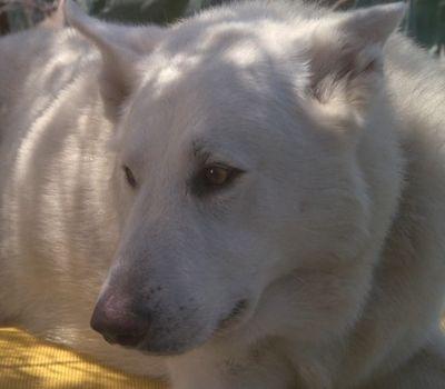White Dog online