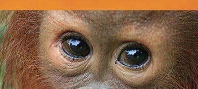 Orangutan Diary