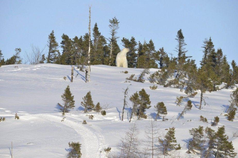 Peu d'espoir pour l'ours polaire de la Côte-Nord | Jean-François Cliche | Environnement