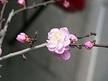 Plum flower 1.JPG