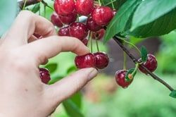 [Image: dt_131216_cherry_picking_fruit_250x188.jpg]