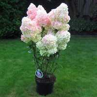 Egrow 20Pcs Hydrangea Flower Seed Vanilla Strawberry Seeds For Outdoor Home Planting Bonsai