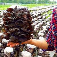 Egrow 50Pcs/Pack Agaric Seeds Healthy Edible Vegetable Mushroom Black Fungus Plants Seeds